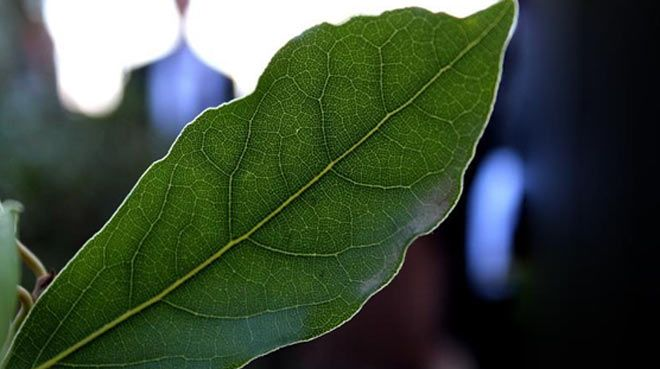 Türkiye`den Avrupa`ya 14 bin ton defne yaprağı ihracatı